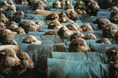 Merino Sheep Wearing Woven Plastic Coats to Protect Their Fleece