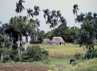 Guano-Thatched Huts