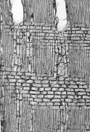 BIGNONIACEAE Jacaranda caerulea