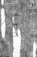 BIGNONIACEAE Jacaranda macrantha