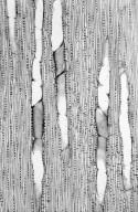 BIGNONIACEAE Jacaranda mimosifolia