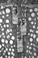 BIGNONIACEAE Dolichandra unguis-cati
