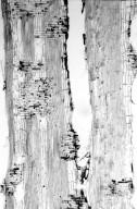 BIGNONIACEAE Stereospermum chelonoides