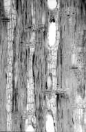 BIGNONIACEAE Stereospermum fimbriatum