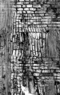 BIGNONIACEAE Stereospermum tetragonum
