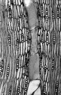 BIGNONIACEAE Tabebuia angustata