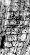 MALVACEAE Bombacoideae Adansonia digitata