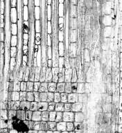 MALVACEAE BOMBACOIDEAE Phragmotheca siderosa