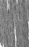 BORAGINACEAE Hilsenbergia petiolaris
