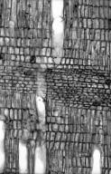 STILBACEAE Nuxia verticillata