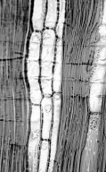 COMBRETACEAE Buchenavia acuminata
