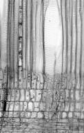 CORNACEAE Cornus alternifolia