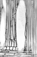 CORNACEAE Cornus macrophylla