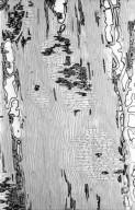 CAPPARACEAE Crateva tapia