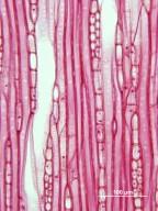 VIBURNACEAE Viburnum prunifolium