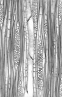 CORNACEAE Alangium chinense