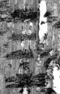 LEGUMINOSAE CAESALPINIOIDEAE Baikiaea insignis minor