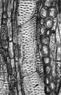 LEGUMINOSAE CAESALPINIOIDEAE Caesalpinia arenosa