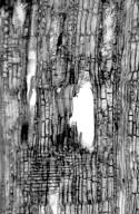 LEGUMINOSAE CAESALPINIOIDEAE Caesalpinia eriostachys