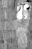 LEGUMINOSAE CAESALPINIOIDEAE Caesalpinia paraguariensis