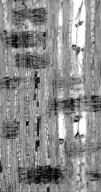 LEGUMINOSAE CAESALPINIOIDEAE Dialium orientale