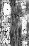 LEGUMINOSAE CAESALPINIOIDEAE Distemonanthus benthamianus