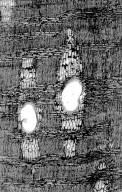 LEGUMINOSAE CAESALPINIOIDEAE Eperua bijuga