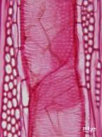 LEGUMINOSAE CAESALPINIOIDEAE Parkinsonia aculeata