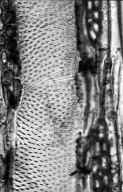 LEGUMINOSAE CAESALPINIOIDEAE Pterogyne nitens