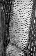 LEGUMINOSAE CAESALPINIOIDEAE Pterolobium indicum