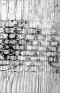 LEGUMINOSAE CAESALPINIOIDEAE Sclerolobium guianense