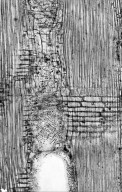 LEGUMINOSAE CAESALPINIOIDEAE Tetraberlinia moreliana