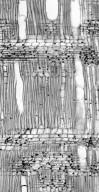 APHANOPETALACEAE Aphanopetalum resinosum