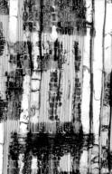 CUNONIACEAE Weinmannia fraxinea