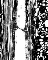 DILLENIACEAE Doliocarpus coriaceus