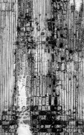 ELAEOCARPACEAE Elaeocarpus acmocarpus