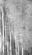 ERICACEAE Styphelia acerosa
