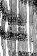 PARACRYPHIACEAE Quintinia serrata