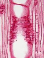 FAGACEAE Notholithocarpus densiflorus