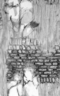 NOTHOFAGACEAE Nothofagus cf. flaviramea