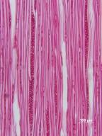 AQUIFOLIACEAE Ilex mucronata