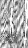 ARALIACEAE Aralia chinensis