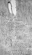 ARALIACEAE Brassaiopsis hainla