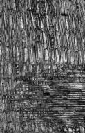 ZYGOPHYLLACEAE Balanites aegyptiaca