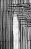 HAMAMELIDACEAE Corylopsis gotoana