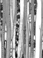 HAMAMELIDACEAE Corylopsis wilsonii