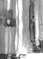 HAMAMELIDACEAE Distylium myricoides