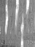 HAMAMELIDACEAE Distylium racemosum