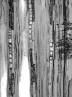 HAMAMELIDACEAE Distyliopsis dunnii