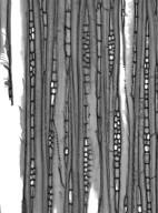 HAMAMELIDACEAE Molinadendron hondurense